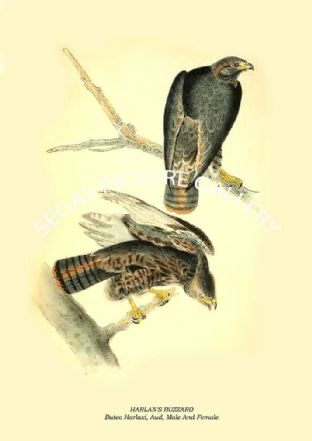 HARLAN'S BUZZARD - Buteo Harlaxi, Aud, Male And Female